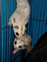 Sugar Glider Animals for sale in Arizona Mills, Tempe, AZ 85282, USA. price: NA
