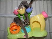 Sugar Glider Animals for sale in Atlanta, GA, USA. price: NA