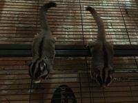 Sugar Glider Animals for sale in Allensville, KY 42204, USA. price: NA