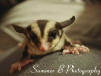 Sugar Glider Animals for sale in Smyrna, GA, USA. price: NA