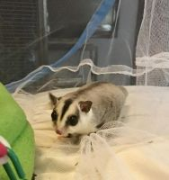 Sugar Glider Animals for sale in 448 N Frederick Ave, Gaithersburg, MD 20877, USA. price: NA