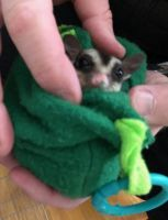 Sugar Glider Animals for sale in Knoxville, TN, USA. price: NA