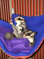 Sugar Glider Animals for sale in Westminster, CO, USA. price: NA