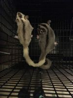 Sugar Glider Animals for sale in North Little Rock, AR, USA. price: NA