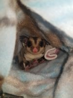 Sugar Glider Animals for sale in Pasco, WA 99301, USA. price: NA
