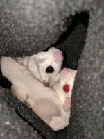 Sugar Glider Animals for sale in Vancouver, WA 98685, USA. price: NA