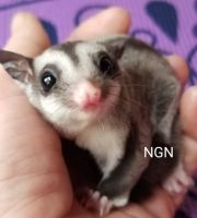 Sugar Glider Animals for sale in Big Sandy, TN 38221, USA. price: NA