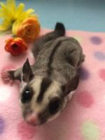 Sugar Glider Animals for sale in Milford, MA, USA. price: NA