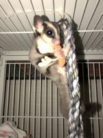 Sugar Glider Animals for sale in Scranton, PA, USA. price: NA