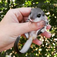 Sugar Glider Animals for sale in Raleigh, NC, USA. price: NA