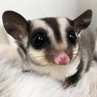 Sugar Glider Animals for sale in Dallas, TX, USA. price: NA