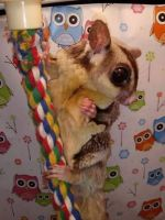 Sugar Glider Animals for sale in Ashburn, VA, USA. price: NA