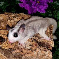 Sugar Glider Animals for sale in New York, NY, USA. price: NA