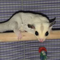 Sugar Glider Animals for sale in Fresno, CA 93720, USA. price: NA