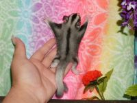Sugar Glider Animals for sale in Los Angeles, CA, USA. price: NA