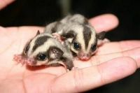 Sugar Glider Animals for sale in Iron Station Rd, Dallas, NC 28034, USA. price: NA