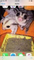 Sugar Glider Animals for sale in Milton, NH, USA. price: NA