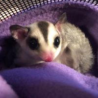 Sugar Glider Animals for sale in Richmond, CA 94807, USA. price: NA
