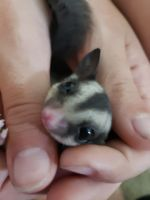 Sugar Glider Animals for sale in Folsom, CA, USA. price: NA