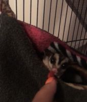 Sugar Glider Animals for sale in Odessa, TX, USA. price: NA
