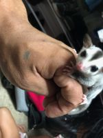 Sugar Glider Animals for sale in Lodi, CA, USA. price: NA