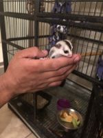 Sugar Glider Animals for sale in Maricopa, AZ 85138, USA. price: NA