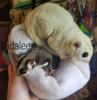 Sugar Glider Animals for sale in Sun Prairie, WI 53590, USA. price: NA
