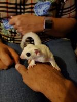 Sugar Glider Animals for sale in St. Louis, MO, USA. price: NA