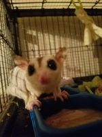Sugar Glider Animals for sale in 2028 US-31, Deatsville, AL 36022, USA. price: NA