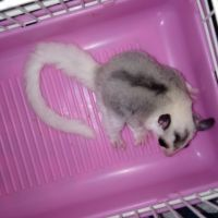 Sugar Glider Animals for sale in Coshocton, OH 43812, USA. price: NA
