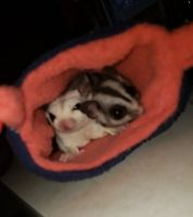 Sugar Glider Animals for sale in Plainfield, IL, USA. price: NA