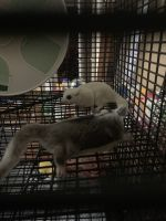 Sugar Glider Animals for sale in Onalaska, TX 77360, USA. price: NA
