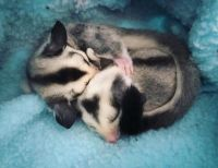 Sugar Glider Animals for sale in Altoona, IA, USA. price: NA