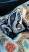 Sugar Glider Animals for sale in Lawrenceburg, TN, USA. price: NA