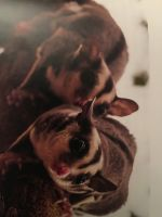 Sugar Glider Animals for sale in Chattanooga, TN, USA. price: NA