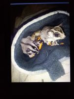 Sugar Glider Animals for sale in Seattle, WA 98125, USA. price: NA