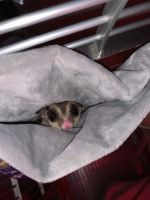 Sugar Glider Animals for sale in Aventura, FL 33180, USA. price: NA