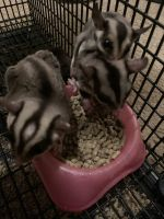 Sugar Glider Animals for sale in Lincoln, AL, USA. price: NA