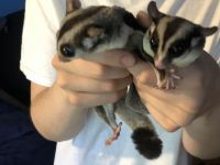 Sugar Glider Animals for sale in Kingston, NY 12401, USA. price: NA