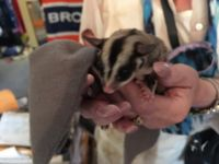 Sugar Glider Animals for sale in Aurora, CO, USA. price: NA