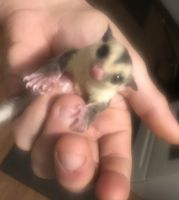 Sugar Glider Animals for sale in Fostoria, OH 44830, USA. price: NA