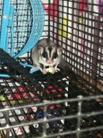 Sugar Glider Animals for sale in Tulsa, OK, USA. price: NA