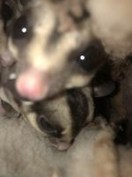 Sugar Glider Animals for sale in Prairie Du Sac, WI, USA. price: NA