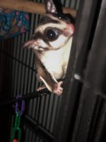 Sugar Glider Animals for sale in Glen Allen, VA, USA. price: NA
