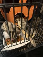 Sugar Glider Animals for sale in Griffin, GA, USA. price: NA