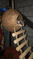 Sugar Glider Animals for sale in Burke, VA, USA. price: NA