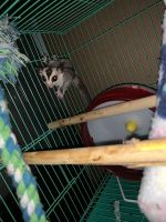 Sugar Glider Animals for sale in Davie, FL, USA. price: NA