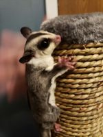 Sugar Glider Animals for sale in Warren, MI, USA. price: NA