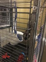 Sugar Glider Animals for sale in Spokane, WA 99223, USA. price: NA