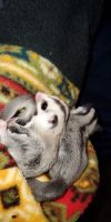 Sugar Glider Animals for sale in Woodstock, IL 60098, USA. price: NA